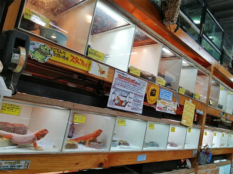 フトアゴヒゲトカゲが販売されているコーナー